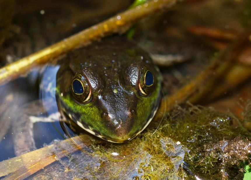 frog poking its head up from a pond