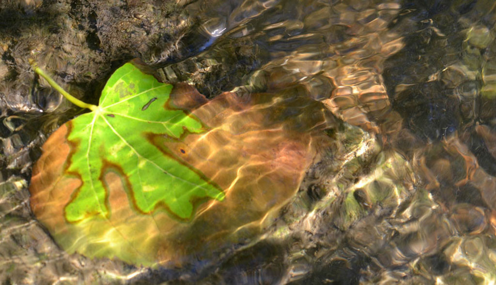 Green oak leaf on a rock in a stream