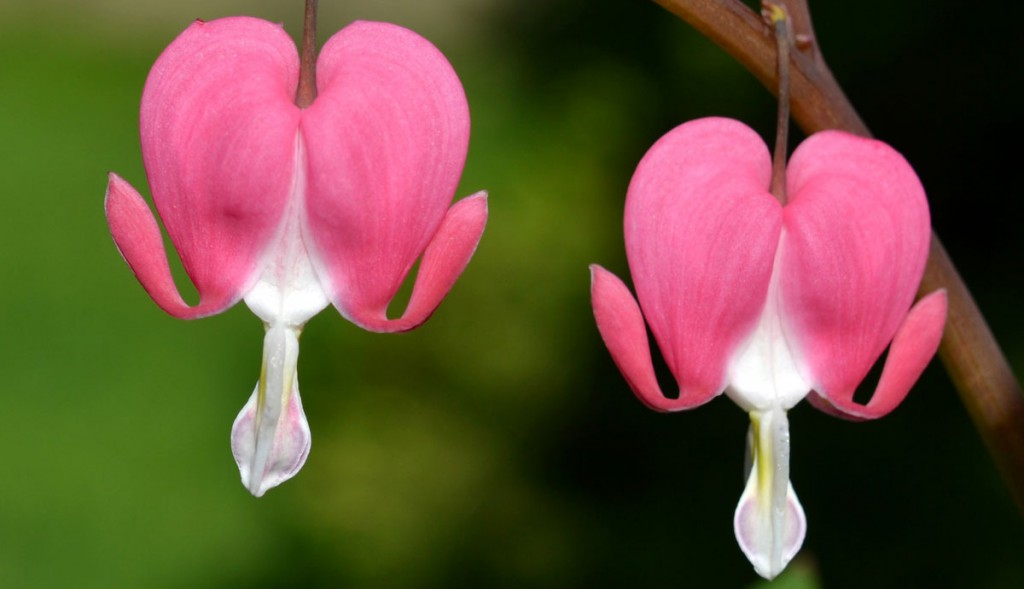 Pair of Bleeding Heart Flowers